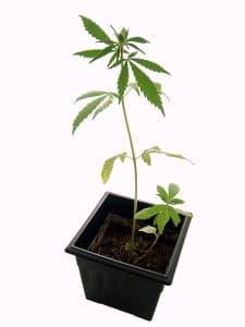 Flere cannabisfrø i samme potte
